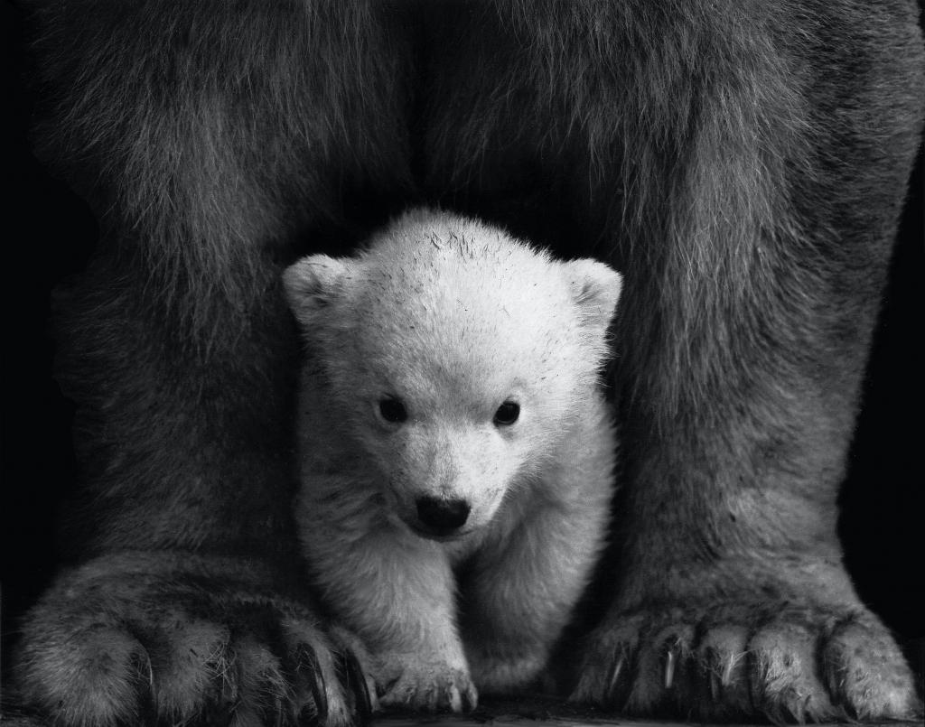 animal-animal-photography-bear-black-and-white-598966
